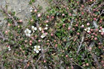 Cotoneaster microphyllus foto