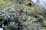 Cotoneaster niger foto