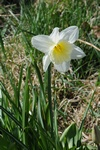 Narcissus (ICE FOLLIES) foto