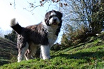 Old English Sheepdog foto