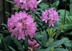 Rhododendron (English Roseum) foto