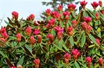 Rhododendron degronianum foto