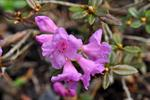 Rhododendron lapponicum foto