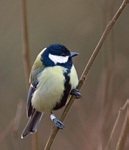 Koolmees (Parus major) foto