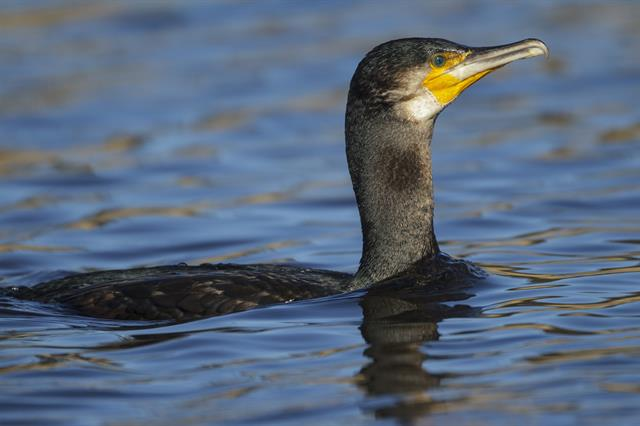 Aalscholver (Phalacrocorax carbo) foto