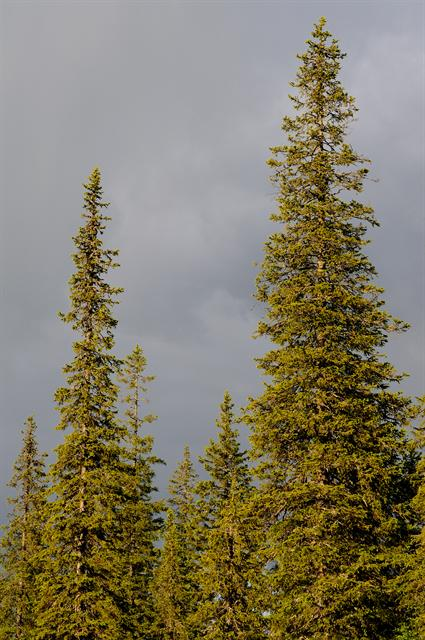 Picea abies ssp. obovata