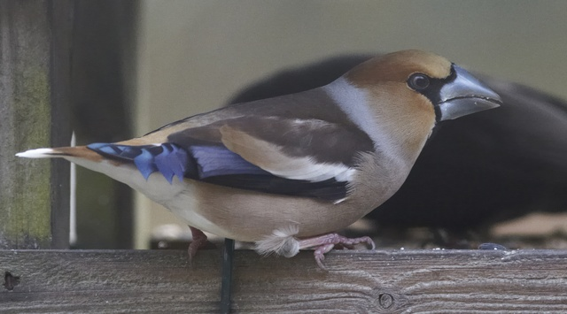 Appelvink (Coccothraustes coccothraustes) foto