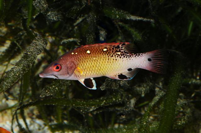 Lippfische  Startseite MeerwasserLexikonde