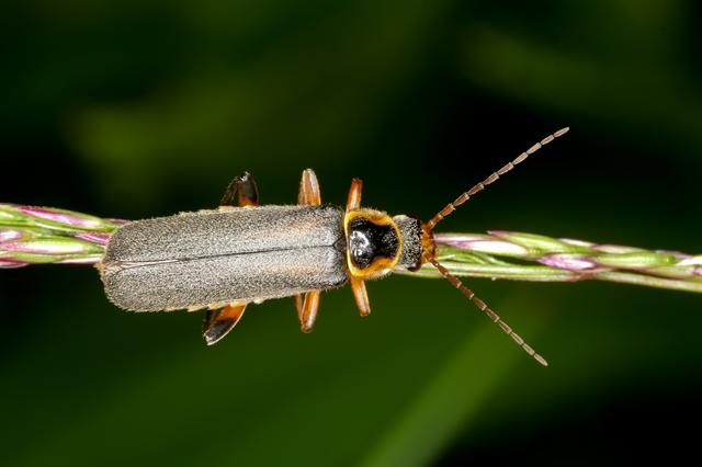 Cantharis nigricans foto
