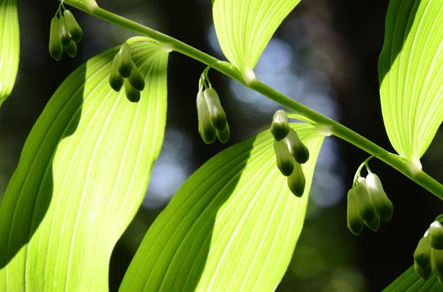 Gewone salomonszegel (Polygonatum multiflorum) foto