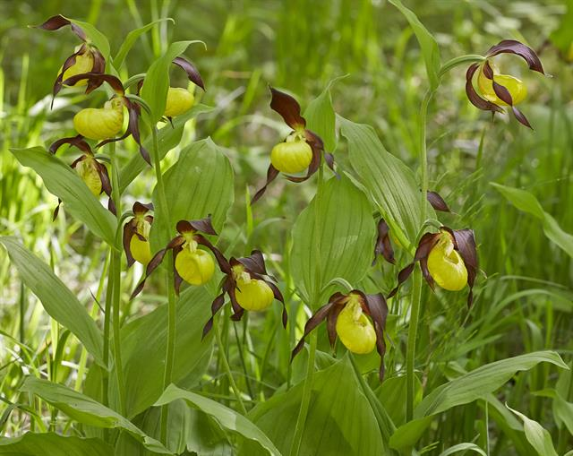 Cypripedium calceolus foto