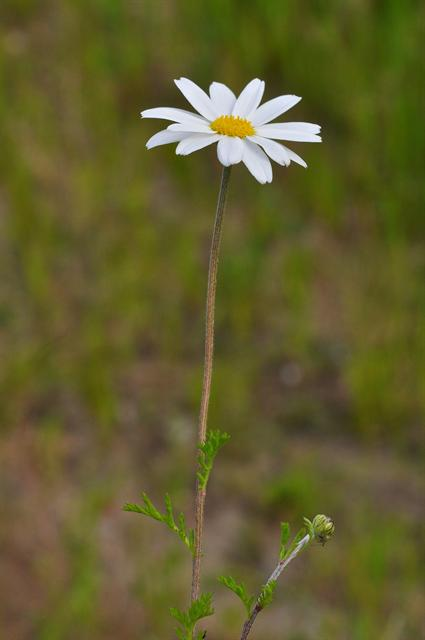 Valse kamille (Anthemis arvensis)