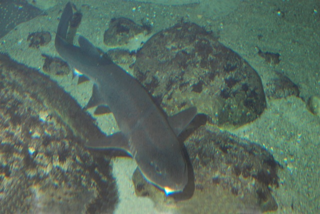 Nursehaai (Ginglymostoma cirratum)