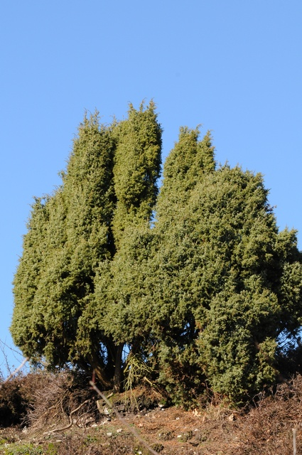 Jeneverbes (Juniperus communis)
