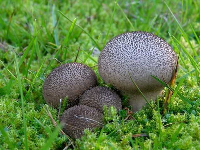 Lycoperdon nigrescens foto
