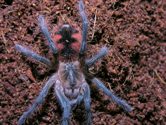 Pamphobeteus sp Equador 2