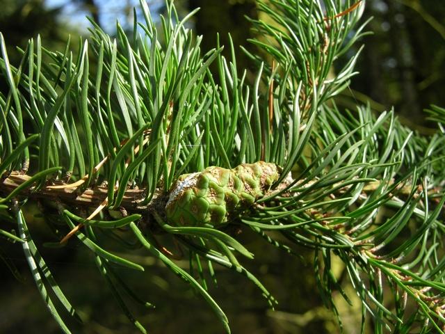 Skovhave rold skov note grootte 3264x2448 struikden pinus banksiana