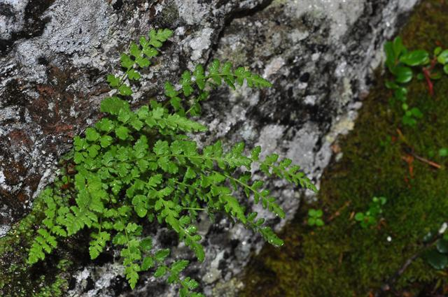 Alpenwimpervaren of Bergwimpervaren (Woodsia alpina)