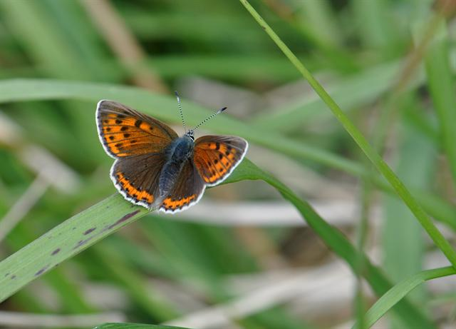 Rode vuurvlinder (Lycaena hippothoe)