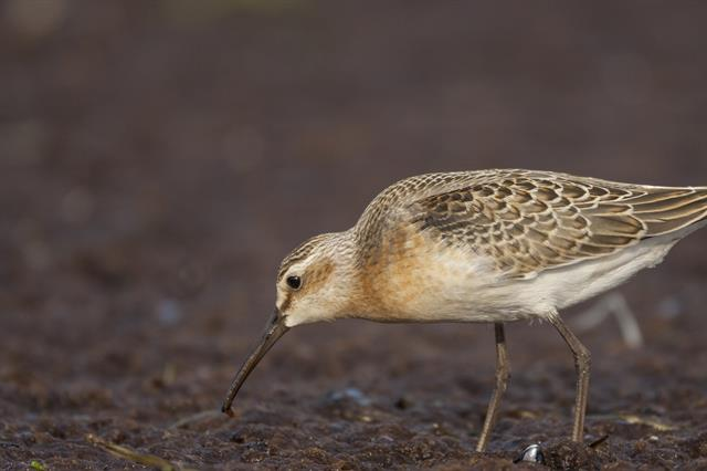 Krombekstrandloper (Calidris ferruginea)