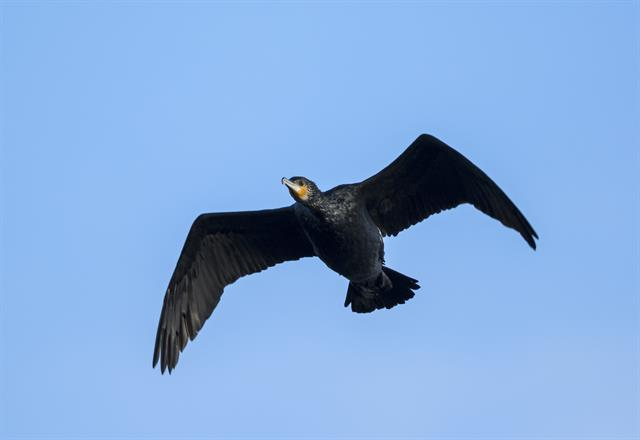 Aalscholver (Phalacrocorax carbo)