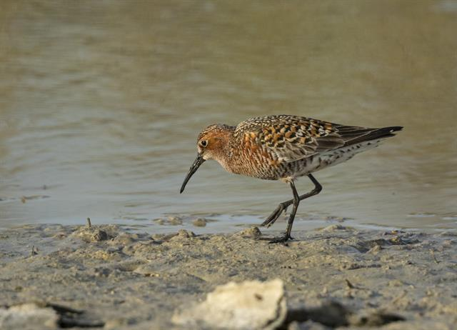 Krombekstrandloper (Calidris ferruginea) foto