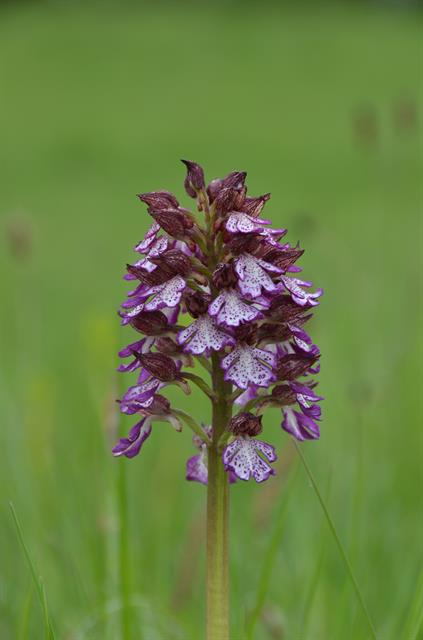 Purperorchis (Orchis purpurea) foto