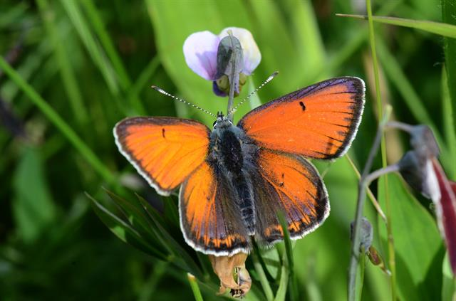 Rode vuurvlinder (Lycaena hippothoe) foto