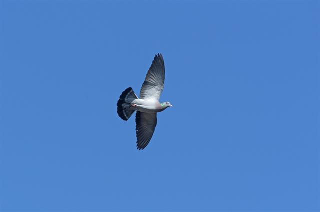 Holenduif (Columba oenas)