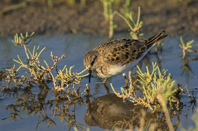 Temmincks Strandloper (Calidris temminckii) foto