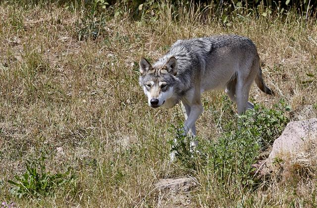 Wolf (Canis lupus) foto