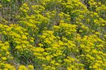 Cipreswolfsmelk (Euphorbia cyparissias)