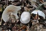 Grote bostrechterzwam (Clitocybe phyllophila)