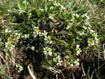 Echt lepelblad (Cochlearia officinalis ssp. officinalis)