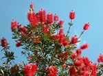 Callistemon sp.